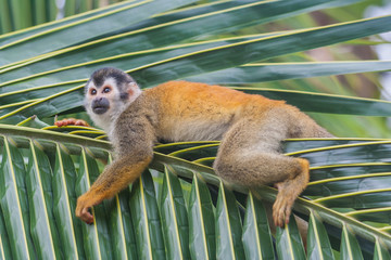 Relaxing squirrel monkey