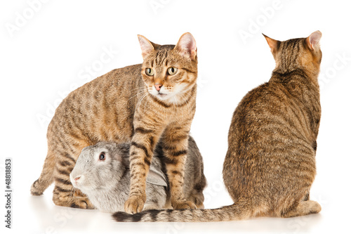 Gray rabbit and two cats, isolated on white