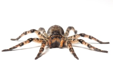 wolf spider over white