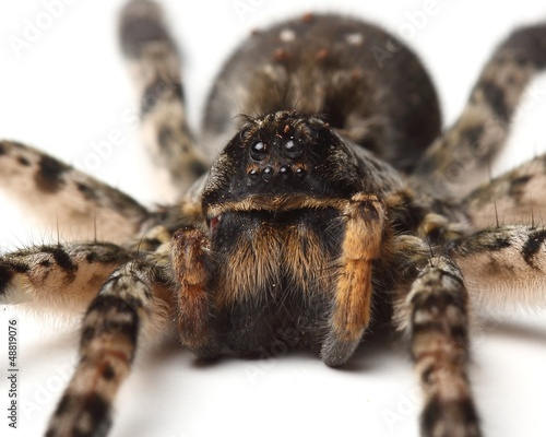 wolf spider over white. macro