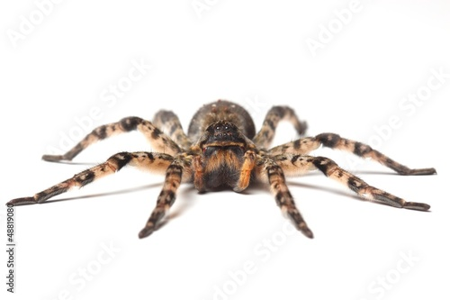 Tuinposter Wolf wolf spider over white