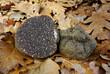black truffle (tuber melanosporum)