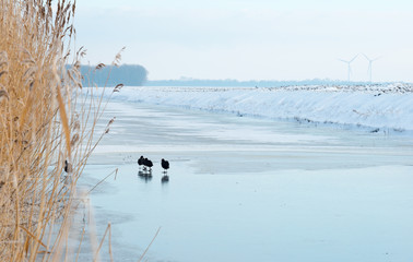 Coots walking on ice in winter