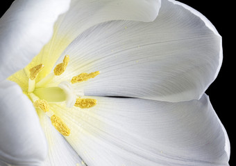 Close up image of white tulip on black