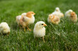 Young chickens in the grass
