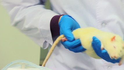 white rat in researchers hands