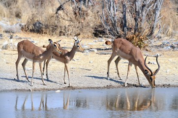 A family of black-faced impalas drinking at a watering hole