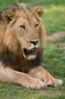 Постер, плакат: Lion in the wild on safari in Zambia