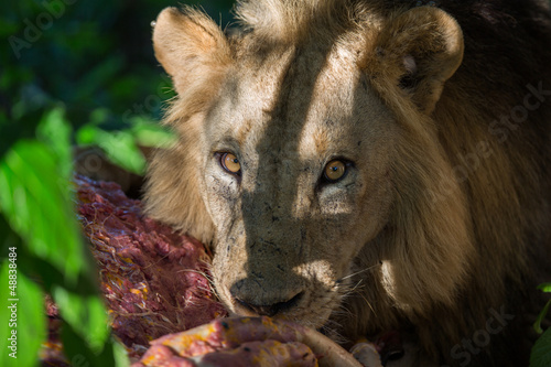 Lion eating buffalo carcass