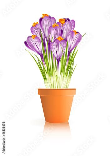 Spring Gardening. Crocuses flowers in pot on white background