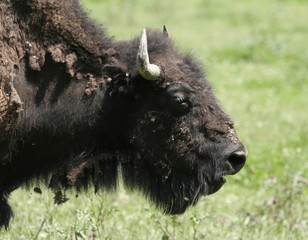 American Bison Head Shot