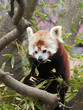Red Panda eating Bamboo Leaf