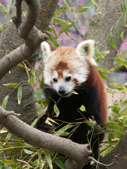 Red Panda eating Bamboo Leaf