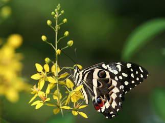 Swallowtail Butterfly on Yellow Flower