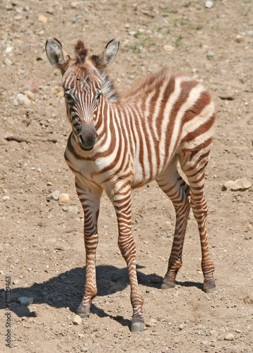 Portrait of a Young Zebra