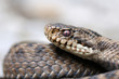 Female European adder portrait (Vipera berus berus)