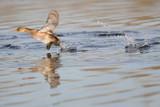 Little Grebe flying on water