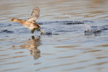 Little Grebe flying on water