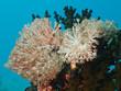Weichkorallen (Heteroxenia fuscescens)