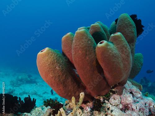 Tubenschwamm (Aplysina fustularis)