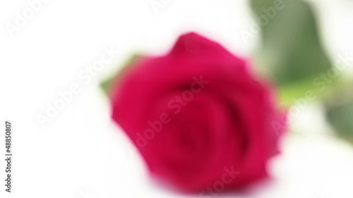 Pink rose lying on white background