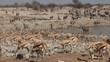 Zebra, springbok and gemsbok antelopes, Etosha N/P
