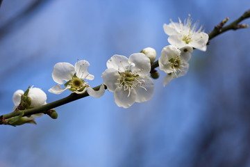 bloom white plum blossom
