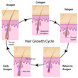 Hair growth cycle, eps10