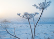 Plant with hoarfrost at dawn