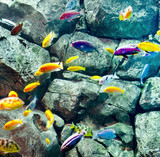 cichlids near rock