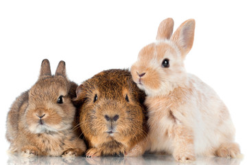 two baby rabbits and a guinea pig