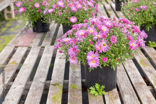 Greenhouse Asters