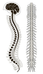 human brian with spinal cord and spinal column