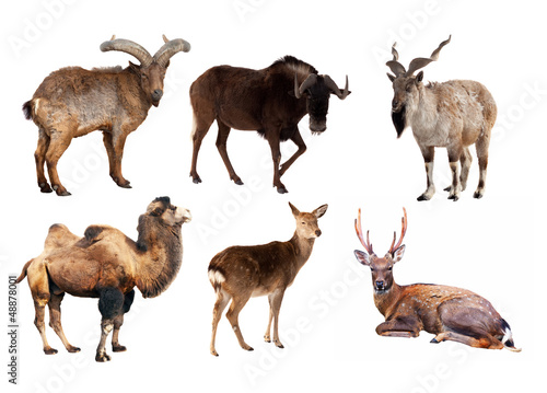 Set of Artiodactyla mammal animals