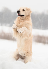 Golden retriever in funny pose