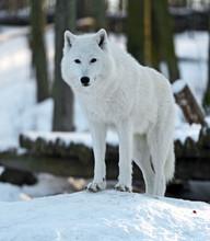 Polar wolf