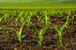 Leinwandbild Motiv Junge Maispflanzen auf dem Feld