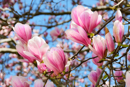 Staande foto Magnolia Magnolien vor blauem Himmel