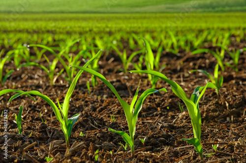 Junge Maispflanzen auf dem Feld - 48879492