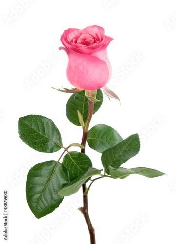 Entzückende Rose in rosa auf weiß
