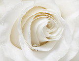 Fototapety white rose
