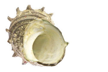 turban shell