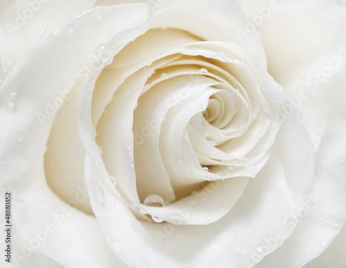 biala-roza