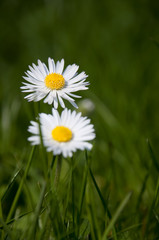 two daisies in spring grass field