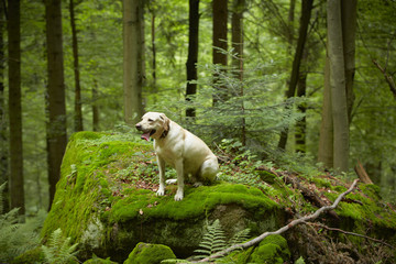 Yellow labrador retriever in deep forest.