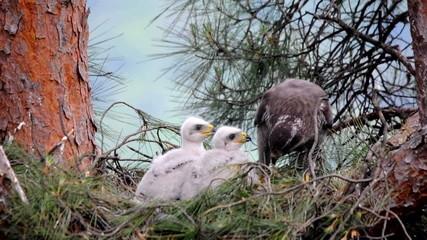 Wild northern goshawk at nest feeding chicks