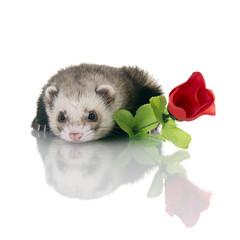 Frettchen mit Rose