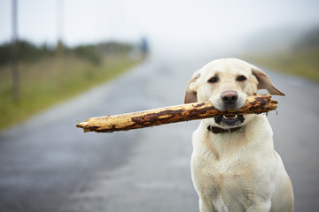 Yellow labrador retriever with stick