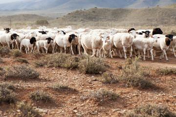 A flock of Dormer sheep walking on gravel road