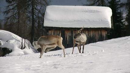 reindeer cleaning itself
